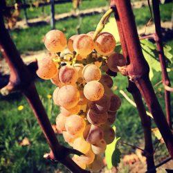 vigne_11